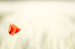 Поле яркого красного мака мозоли цветет в лете Стоковое Фото