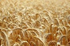 поле ячменя золотистое стоковые изображения rf