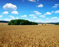 поле ячменя золотистое стоковая фотография