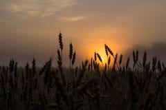 Поле ячменя и предпосылка восхода солнца Стоковые Изображения