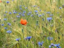 Поле ячменя с wildflowers Стоковая Фотография