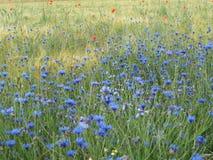 Поле ячменя с wildflowers Стоковое фото RF