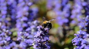 Поле ajuga - горизонтальный формат пчелы опыляя Стоковое Изображение