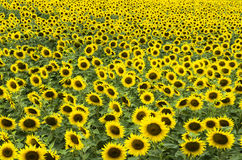 Поле blossoming солнцецветов Стоковое Изображение RF