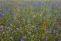 Поле Cornflower Стоковая Фотография RF