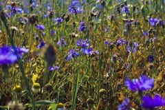 Поле Cornflower Стоковое Изображение