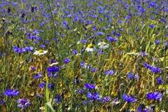 Поле Cornflower Стоковые Фотографии RF