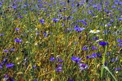 Поле Cornflower Стоковые Изображения RF