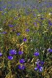 Поле Cornflower Стоковые Изображения
