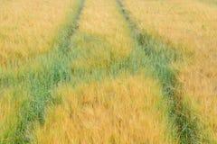 Поле corns ячменя Стоковое фото RF