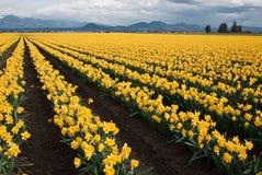 Поле Daffodil стоковая фотография