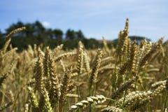 Поле Helnaes урожая Стоковые Фото