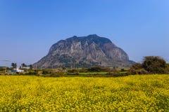 Поле Jeju канола Стоковое Изображение