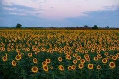 поле l солнцецветы Стоковые Фотографии RF