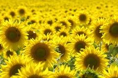 поле l солнцецветы Стоковое Изображение