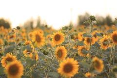 поле l солнцецветы Стоковая Фотография