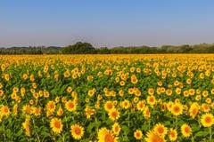 поле l солнцецветы Стоковые Изображения