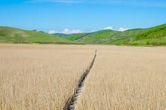 Поле Reed с деревянным путем Стоковые Изображения RF