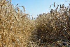 Поле riped пшеницы стоковое изображение