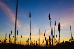 Поле Rye и облака, рано утром восход солнца Стоковое фото RF
