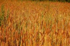 Поле Rye стоковые фото
