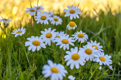 Поле ` s маргаритки в солнечном дне времени весны Стоковые Фотографии RF