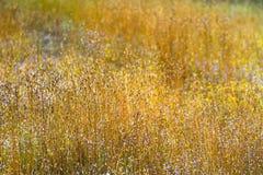 Поле smitinandii Eriocaulon красивое сухое Стоковая Фотография RF
