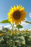 Поле Tsetushchy солнцецвета Стоковые Фото