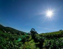 Под женщинами солнечного света havest чай на ферме чая Стоковые Фотографии RF