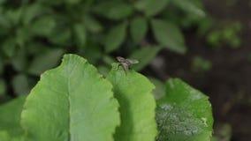 Ползания мухы на зеленых листьях видеоматериал