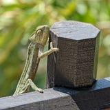 Ползучесть хамелеона на загородке Стоковая Фотография RF
