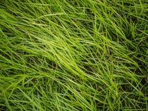 Подлинная предпосылка зеленой травы Стоковое Изображение RF