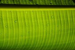 Под лист банана стоковые изображения rf