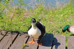 Подиум для утки моды Стоковая Фотография RF