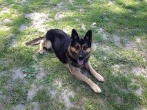 Полицейская собака Стоковое фото RF