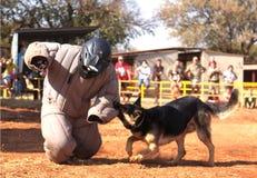 Полиция натренировала эльзасскую собаку, взятие проложенный идущий человек вниз в sho Стоковая Фотография RF