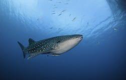 Под китовой акулой Стоковая Фотография