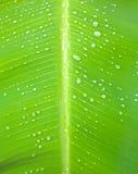 по мере того как банан предпосылки может закрыть вверх используемый вал природы листьев Стоковая Фотография RF