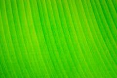 по мере того как банан предпосылки может листать используемыми ладонями Стоковое Фото