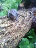 по мере того как Коста нашла лягушки лягушки растущий максимум подразумевает названный Никарагуа другая вегетация валов вала rica Стоковые Фото