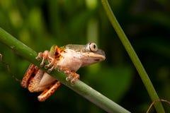 по мере того как Коста нашла лягушки лягушки растущий максимум подразумевает названный Никарагуа другая вегетация валов вала rica Стоковая Фотография