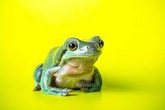 по мере того как Коста нашла лягушки лягушки растущий максимум подразумевает названный Никарагуа другая вегетация валов вала rica Стоковые Изображения