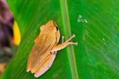 по мере того как Коста нашла лягушки лягушки растущий максимум подразумевает названный Никарагуа другая вегетация валов вала rica Стоковое Изображение
