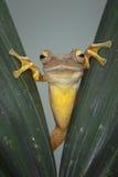 по мере того как Коста нашла лягушки лягушки растущий максимум подразумевает названный Никарагуа другая вегетация валов вала rica Стоковые Фотографии RF