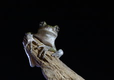 по мере того как Коста нашла лягушки лягушки растущий максимум подразумевает названный Никарагуа другая вегетация валов вала rica Стоковое фото RF