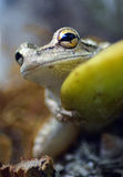 по мере того как Коста нашла лягушки лягушки растущий максимум подразумевает названный Никарагуа другая вегетация валов вала rica Стоковая Фотография RF