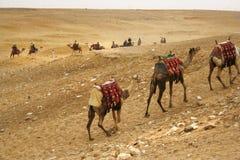 по мере того как переход верблюдов Стоковые Изображения