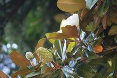 по мере того как предпосылка может используемый magnolia цветков armoring стоковое изображение rf