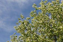 по мере того как предпосылка ветвь может используемый цвести Стоковые Фотографии RF