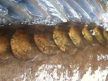 по мере того как предпосылка может польза маштабов рыб Стоковое Изображение